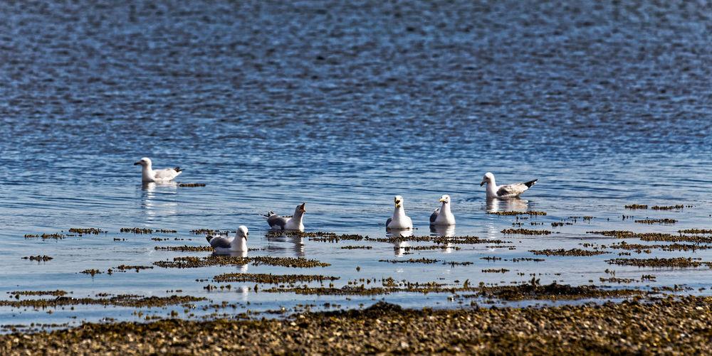 Seagulls Animal