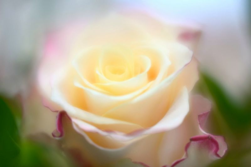Close-up of rose blooming