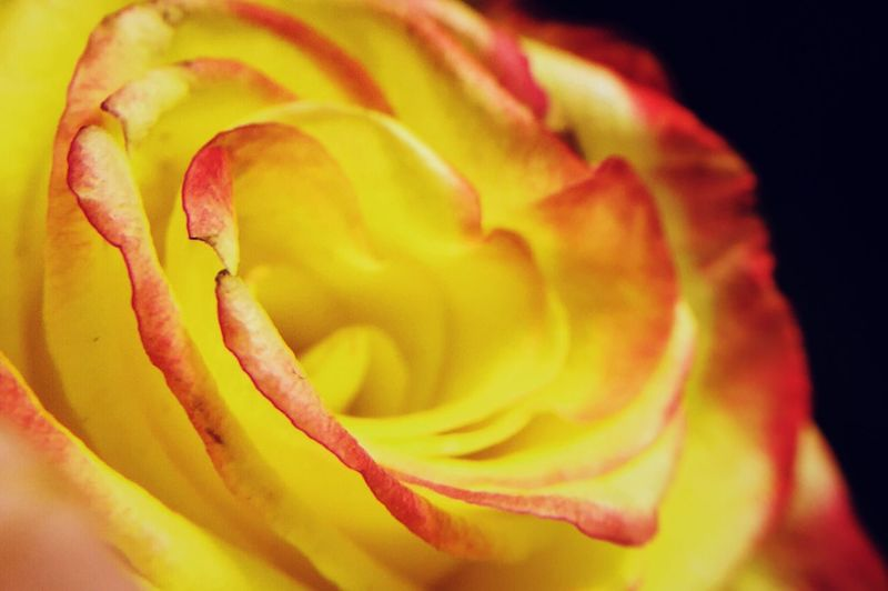 Yellow&Red rose
