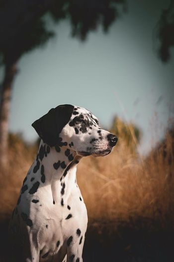 Dalmatian Dog Looking Away On Field Against Sky