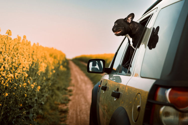View of french bulldog dog in car on road against rapeseed field at sunset