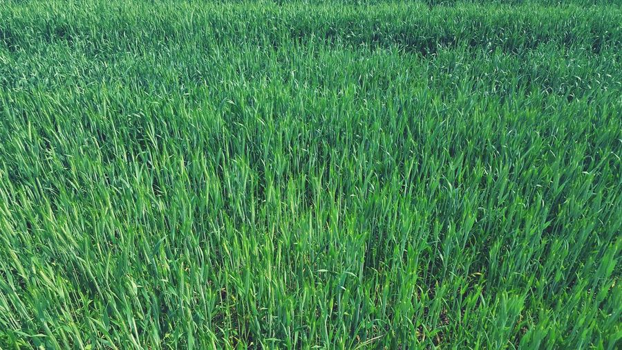 Grass Green Color Field Backgrounds Full Frame Nature Grass Area Meadow No People Outdoors Day Growth
