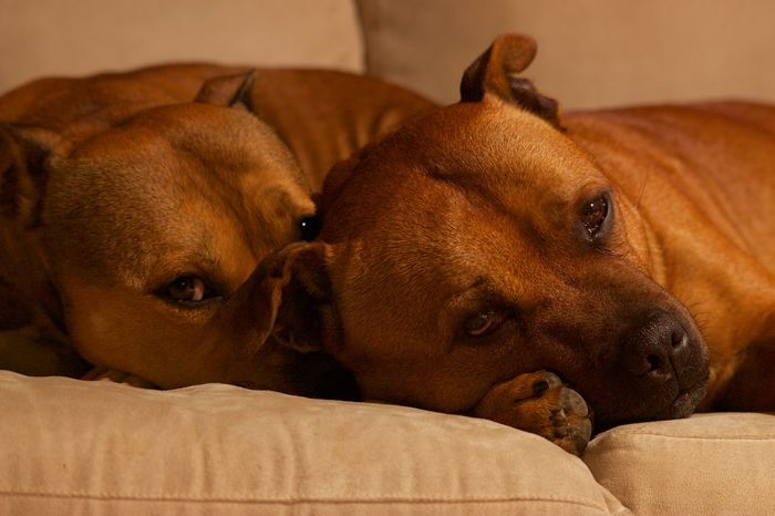 Dogs Staffies Brotherandsister Onthecouch Dogsoncouch Browndogs Browneyes Looking At Camera Dog Love Close-up Domestic Animals Animal Themes Pets Domestic Life Domestic Animal Domestic Dog Brown Color Brown Hair Browneyedgirl Brown Bestfriend Best Friends Family Petphotography Petphotographer