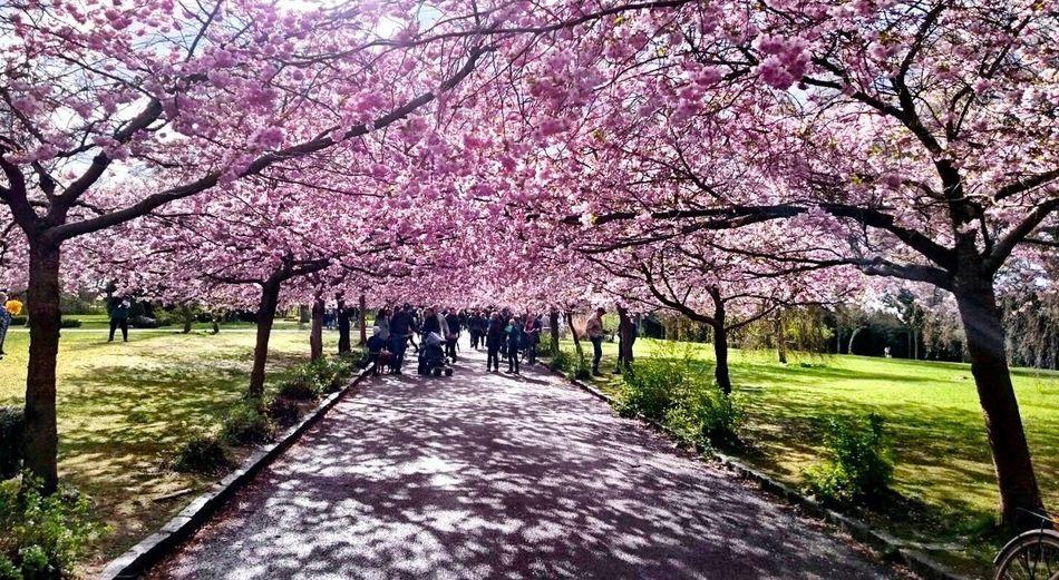 Blossom Flowers Cherry Blossoms Copenhagen Park Nature Pink