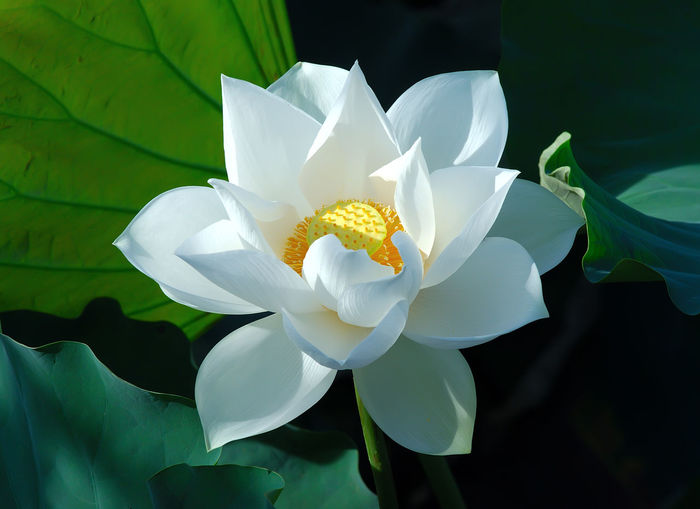 Flower Flowering Plant Petal Vulnerability  Plant Fragility Freshness Beauty In Nature Inflorescence Flower Head White Color Close-up Growth Leaf Nature Plant Part Pollen Day Water Lily Focus On Foreground No People Outdoors Lotus Water Lily