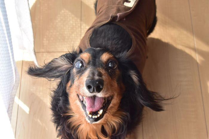 Ilovemydog Dog Dachshund Doglover Pets Domestic Animals Dog Lover Dogs DogLove Dogs Of EyeEm Dog Love Dog❤ Dogstagram Dogslife Dogoftheday One Animal Dogsofinstagram Dog Life Mylove Nikon D7200 NIKKOR 18-300mm 普段お留守番させる事ないけん、お留守番もなるべく5時間以内にして、ずーっと一緒におった、これからも一緒におりたい。なんでそんなんいっぱいデキモノできるん?ママン心配やん。年やけセンセー手術ダメってよ、どうしよう。ってリアルでは泣くけん言えんからここでグチってみた😂