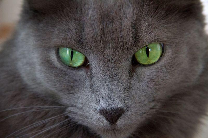 Mesmerizing eyes Cat Cat Photography Nebelung Nebelung Cat Cat Portrait Beautiful Eyes Green Eyes Grey Cat EyeEm Best Shots EyeEm Animal Lover Eye4photography  Looking At Camera Hello World Green Cute Cat Mezmerizing Stunning Point Of View Pet Pet Photography