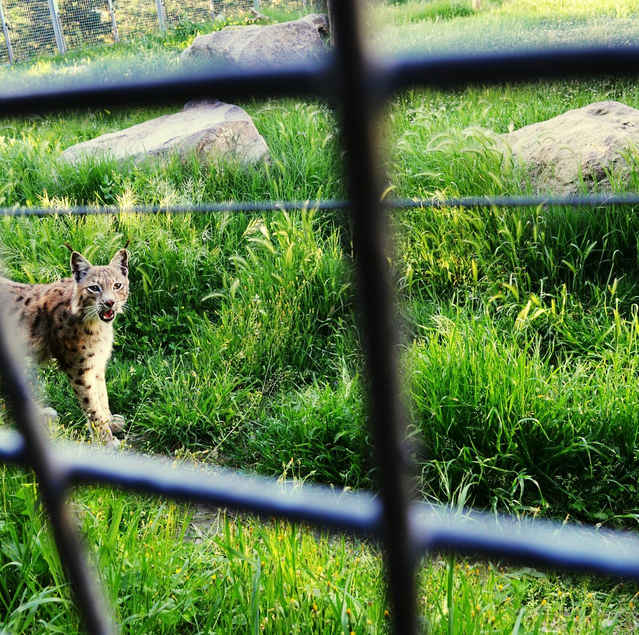 High Angle View Of Bobcat Walking On Grass In Cage