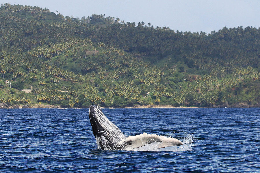 Whales in the bay of Samana Dominican Republic current time Animal Themes Animal Wildlife Animals In The Wild Aquatic Mammal Beauty In Nature Day Mammal Nature No People One Animal Outdoors Scenics Sea Sea Life Sky Swimming Tree Water Waterfront Whale