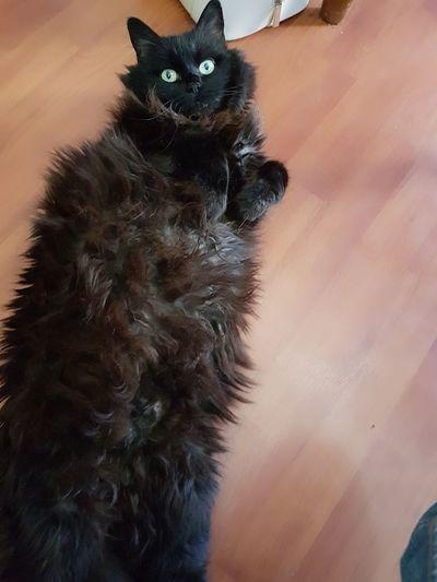 Monoca en detente Domestic Cat Pets Feline
