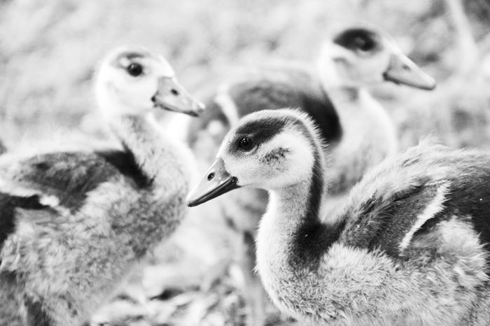Goose Family Familie Family Black And White Blackandwhite Goose Gooses Gooses Family Goose Family Gans Gänse Nature Nature_collection Nature Photography Animals In The Wild Animals Animal Animal Photography Tierfotografie Tier Tiere EyeEm Nature Lover EyeEm Best Shots - Nature EyeEm Best Shots - Black + White