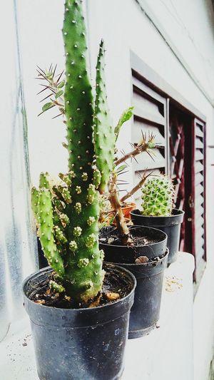 Belasimagens Belezanatural Amanhecer Cactus MinhaPaixão