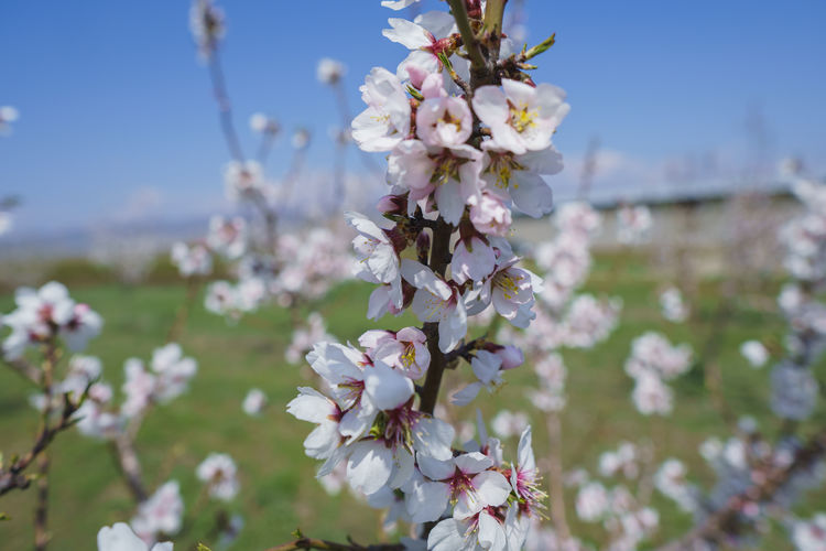 Flower Flowering Plant Plant Freshness Fragility Vulnerability  Blossom Beauty In Nature Close-up Tree Growth Nature Springtime Day Focus On Foreground Branch No People Petal Agriculture White Color Cherry Blossom Outdoors Flower Head Cherry Tree