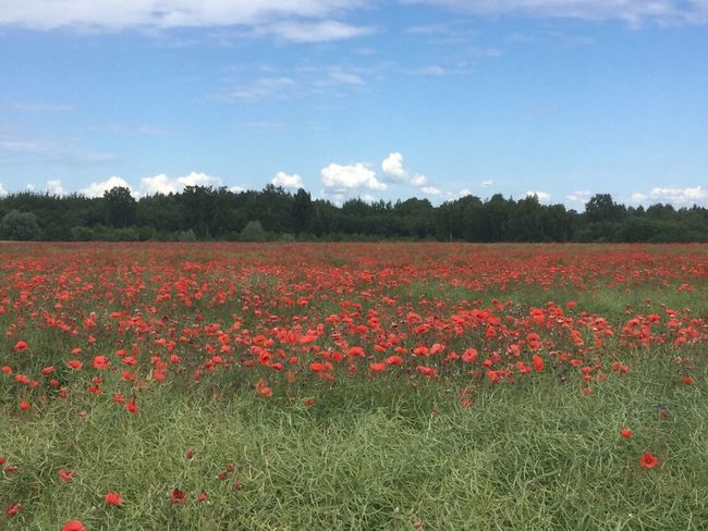 Agriculture Beauty In Nature Blooming Day Field Flower Freshness Grass Growth Landscape Nature No People Outdoors Poppy Red Rural Scene Scenics Sky Summer Tranquil Scene Tranquility