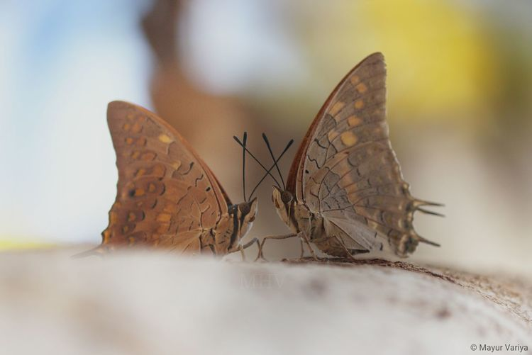 Butterfly - Insect Insect Animal Wing Nature Close-up Animal Wildlife Animal Themes Animals In The Wild Butterfly Royal Meeting EyeEmNewHere Animals In The Wild Beauty In Nature EyeEm Nature Lover Canon700D Couple Pair Resist Let's Go. Together.