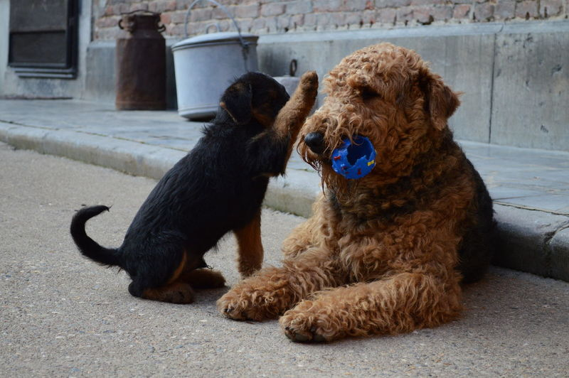 Adorable Airedale Terrier Animal Themes Ball Playing Puppy Love Puppy❤ Reunion Island With Puppy
