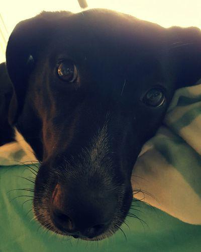 Black Lab Crystal City Arlington  Virginia Black Labrador Black Dog Dog In Bed Dog Dogs Dogslife Dog Life Dog Love Dog❤ Dogs Of EyeEm DogLove