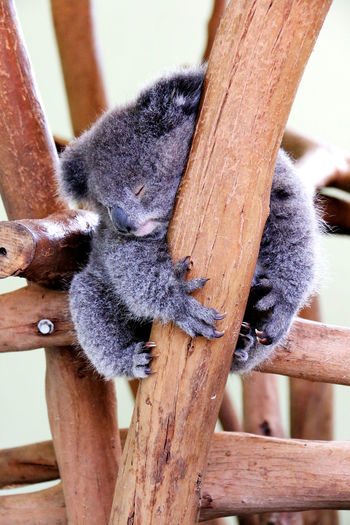 Low angle view of koala sleeping on wooden structure