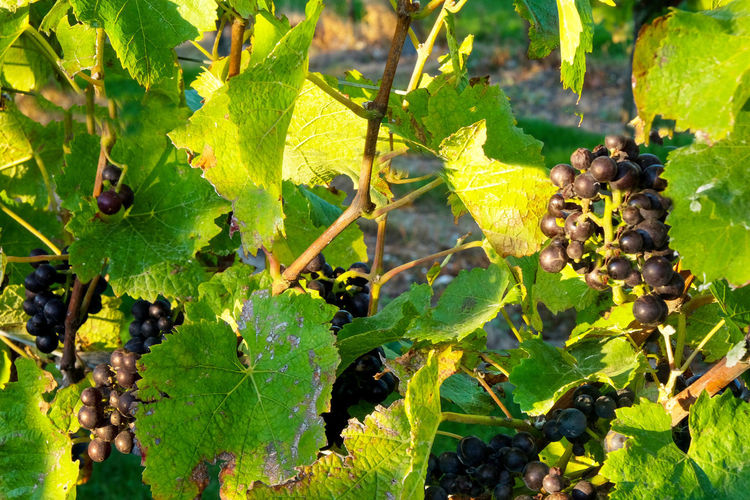Grapes Leaf Plant Part Food And Drink Green Color Fruit Growth Grape Plant Food Vineyard Healthy Eating Agriculture Nature Vine Freshness Day Close-up No People Wellbeing Winemaking Outdoors Ripe Pinot Noir Pinot Noir Country