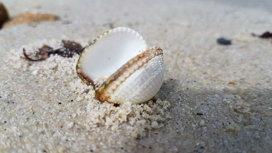 Close-up of double shell on sand