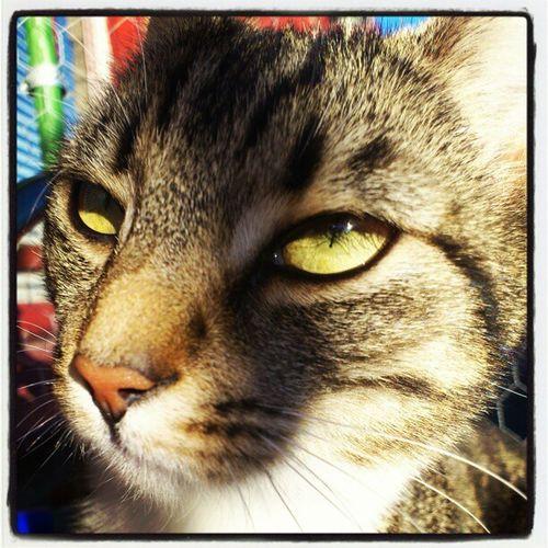 Skrållan Närbild Close Up Cat Katt