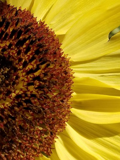 Bright Bright Colors Yellow Flower Yellow Yellow Color Reddish Flower Flower Head Yellow Sunflower Close-up Sky Plant Stamen Pistil In Bloom Plant Life