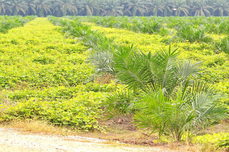 replanting oil palm tree Agriculture Beauty In Nature Commodity Ditch Estate Field Green Color Growth Industrial Nature Oil Oil Palm Oil Palm Trees Palm Tree Plant Replanting