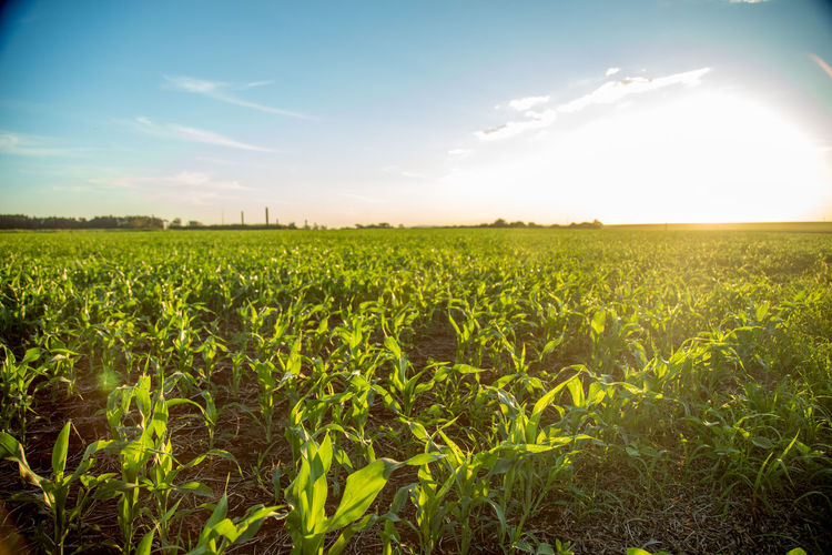 Agriculture Beauty In Nature Cereal Plant Crop  Day Farm Field Growth Landscape Nature No People Outdoors Rural Scene Scenics Sky Sorghum Sunlight Tranquility