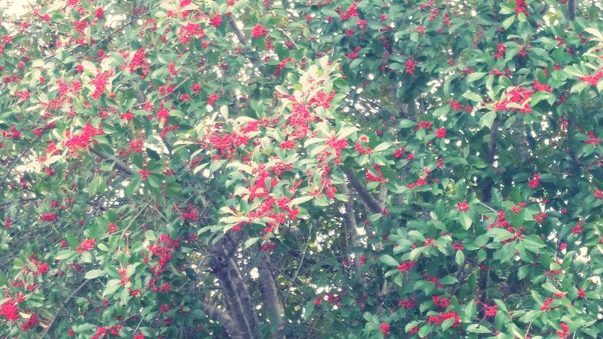 Trees Berrys Berries Wild Berries Fall Foilage