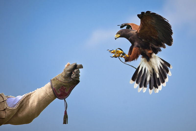 Harris hawk lands on the falconer´s hand Falconry Glover Garden Harris Hawk  Hawk Tradition Animal Themes Bird Bird Of Prey Close-up Day Display Falconer Falconry Display Falconry Glove Flying Handmade Human Body Part Human Hand One Animal One Person Outdoors People Sky Spread Wings Traditional