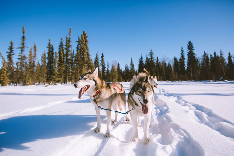 Dog sledding fairbanks alaska landscape