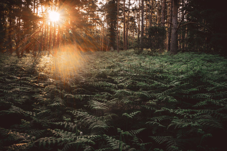 Sunlight streaming through pine trees in forest during sunset