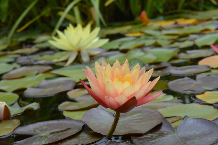 Pink Color Pond Flower Beauty In Nature Nature Flower Head Water Lily Lotus Close-up Floating On Water Nofilter San Juan Capistrano