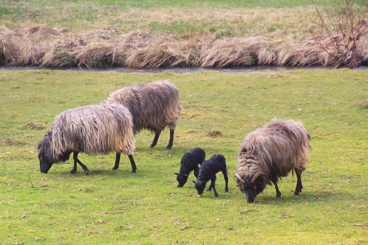 Sheep family in