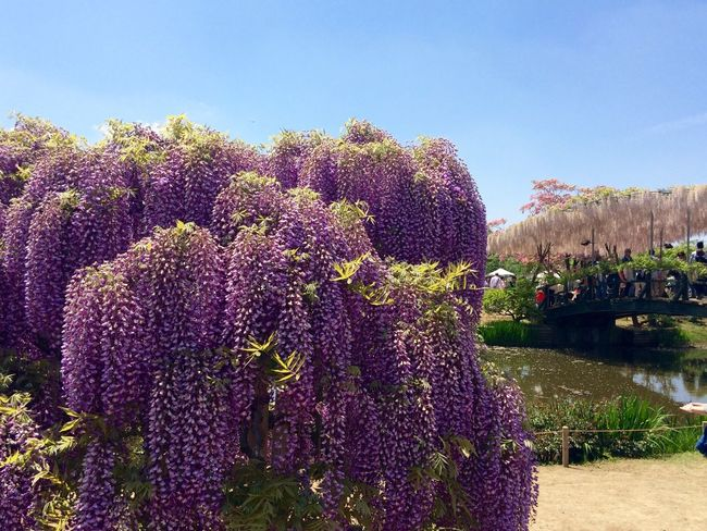 Wisteria Travel Destination 9 Places Of The World Of Dream Ashikaga Flower Park Purple EyeEm Flower Flowers Flower Japan 2015.4.30. あしかがフラワーパーク💜✨🙏世界の夢の旅行先9ヶ所 選出 😃