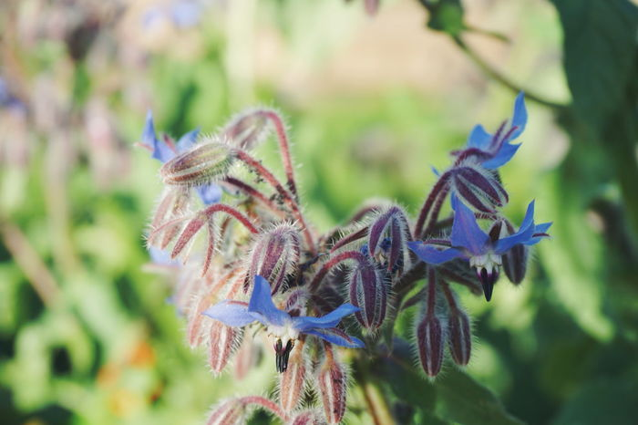 borage plant Flower Nature No People Green Color Close-up Beauty In Nature Flower Head Outdoors Pollination Flowers Freshness Beauty In Nature Plant Fragility Nature Summer Flower Collection Leafs Leaves Leaf Borage Borago Agurkurt Medical Plant