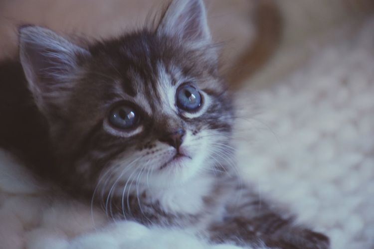 Domestic Cat Pets Eye Feline Domestic Animals Animal Eye Animal Hair