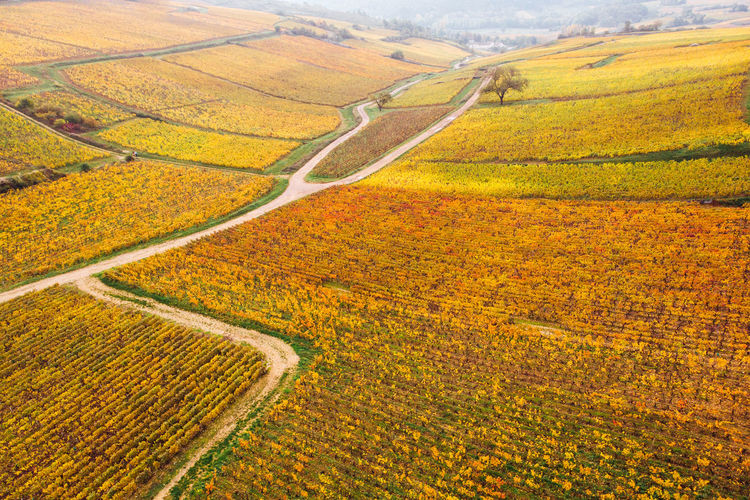 Aerial view of agricultural field. aerial view of vineyards in autumn. vineyard on autumn.
