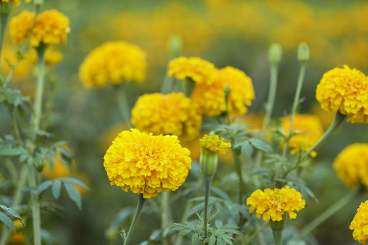 Close-up of yellow marigold flowers