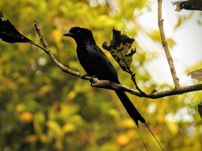 Animal Wildlife Bird One Animal Branch Perching Tree Songbird  Outdoors Nature Silhouette Beauty In Nature Day No People India Kumarakom Bird Sanctuary