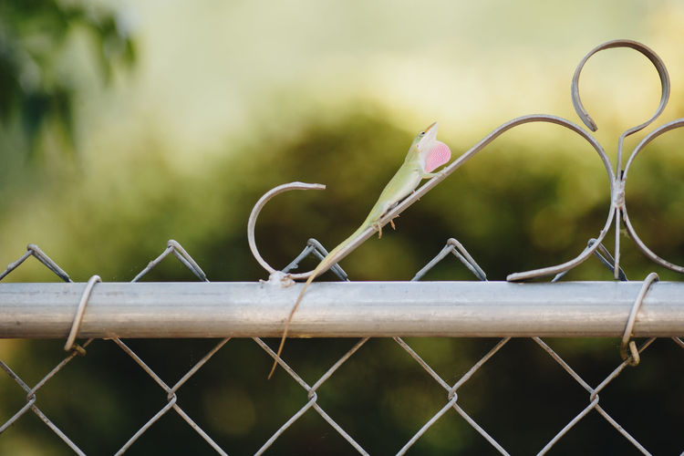 Close-up of barbed wire on chainlink fence