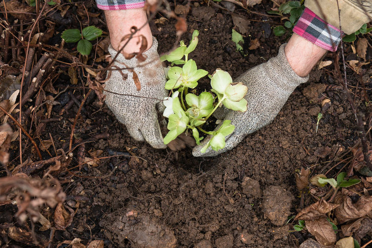 Planting a christmas rose. Christmas Rose Close-up Day Fragility Freshness Garden Work Gardening Growth Helleborus Niger Human Body Part Human Hand Leaf Low Section Nature One Person Outdoors People Plant Planting Bed Sapling Soil Nusshain 02 17