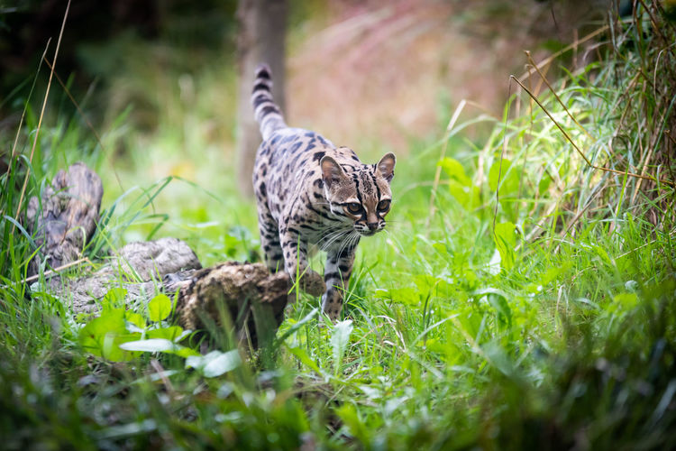 Margay (Leopardus wiedii) Endangered Species Hunter Leopardus Wiedii Margay Animal Animal Photography Animals In The Wild Big Cat Cat Cat Outdoors Cat Photography Cat Portrait Feline Hunting Mammal Nature No People Ocelot One Animal Outdoors Protection Prowling Vertebrate Wild Cat