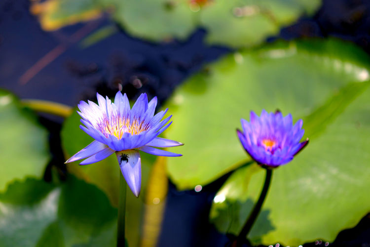 Lotus Lotus Flower Beauty In Nature Close-up Floating On Water Flower Flower Head Flowering Plant Fragility Freshness Growth Inflorescence Leaf Lotus Water Lily Nature No People Outdoors Petal Plant Plant Part Pollen Pond Purple Vulnerability  Water Water Lily