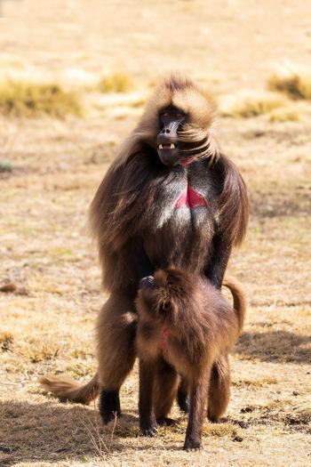 Portrait of a monkey on field