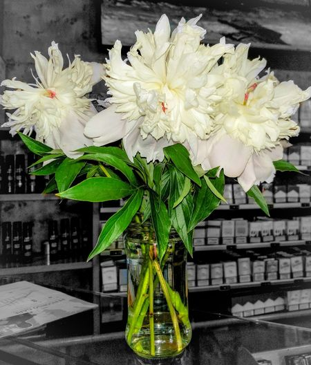 Peonia Flower Collection White Flower May 2016 Segrate