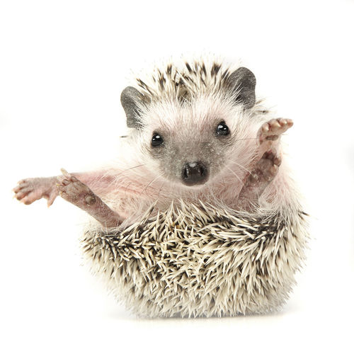 Animal Themes Close-up Cute Day Domestic Animals Hedgehog Indoors  Looking At Camera Mammal No People One Animal Pets Portrait Studio Shot White Background