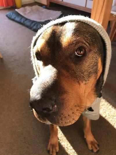 Pet Portraits Animal Themes Dog Simonsharpei #dog #dog #puppy #pup #socialenvy #PleaseForgiveMe #cute #instagood #dogs_of_instagram #pet #pets #animal #animals #petstagram #petsagram #dogsitting #photooftheday #dogsofinstagram #ilovemydog #instagramdogs #dogstagram #dogoftheday #lovedogs #lovepuppie