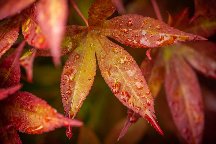 Autumn Beauty In Nature Change Close-up Day Drop Focus On Foreground Fragility Growth Leaf Leaves Maple Leaf Natural Condition Nature No People Outdoors Plant Plant Part RainDrop Red Selective Focus Vulnerability  Water