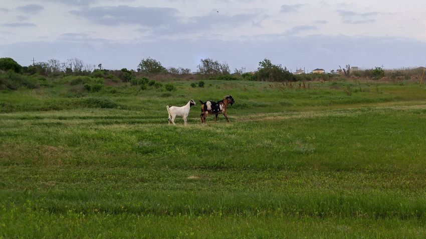 Growth Animal Themes Nature Green Color Livestock Sky Landscape Beauty In Nature No People Outdoors Enjoying The Day 💛 Happiness ♡ Goats, Goats Headed To The Beach
